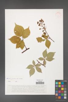 Rubus grabowskii [KOR 37553]