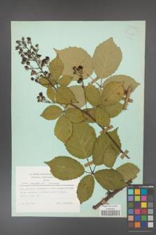 Rubus grabowskii [KOR 23897]