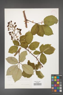 Rubus grabowskii [KOR 24835]