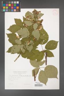 Rubus grabowskii [KOR 30557]