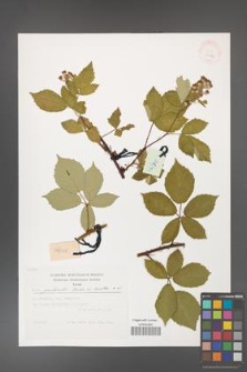 Rubus grabowskii [KOR 29484]