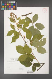 Rubus grabowskii [KOR 29406]