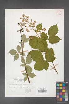 Rubus grabowskii [KOR 53966]