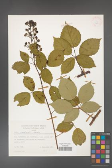 Rubus grabowskii [KOR 24882]