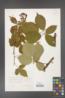Rubus grabowskii [KOR 24853]