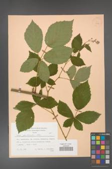 Rubus grabowskii [KOR 25559]