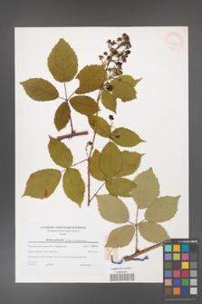 Rubus grabowskii [KOR 38975]