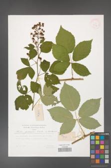 Rubus grabowskii [KOR 29516]