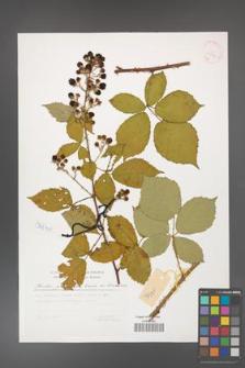 Rubus grabowskii [KOR 29802]