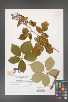 Rubus grabowskii [KOR 38981]