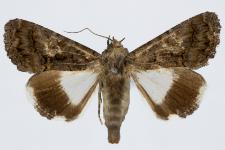 Catephia alchymista
