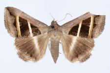 Grammodes bifasciata