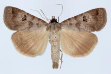 Lygephila ludicra