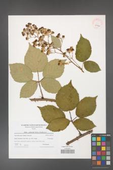 Rubus grabowskii [KOR 41041]