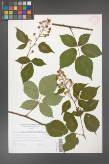 Rubus grabowskii [KOR 44589]