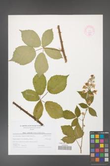 Rubus grabowskii [KOR 44587]