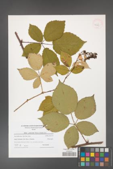 Rubus grabowskii [KOR 40753]