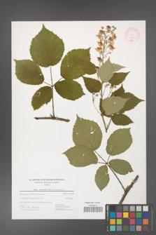 Rubus grabowskii [KOR 44430]