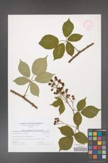 Rubus grabowskii [KOR 44592]