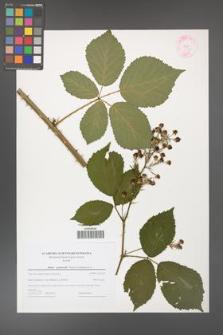 Rubus grabowskii [KOR 44591]