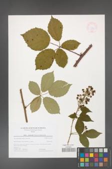 Rubus grabowskii [KOR 44590]