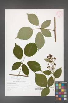 Rubus grabowskii [KOR 44588]