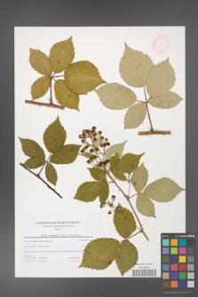Rubus grabowskii [KOR 44594]