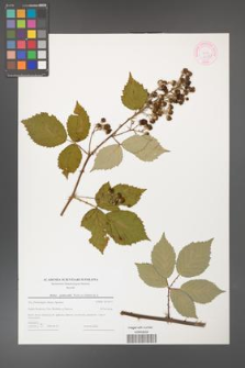 Rubus grabowskii [KOR 44583]
