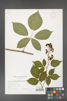 Rubus grabowskii [KOR 44581]