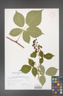 Rubus grabowskii [KOR 44596]