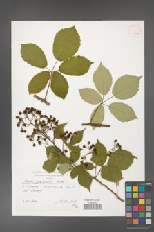 Rubus grabowskii [KOR 39886]