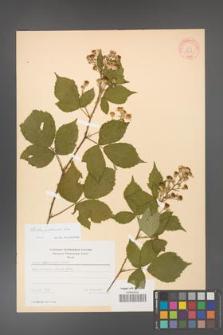 Rubus grabowskii [KOR 18608]