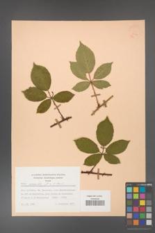 Rubus gracilis [KOR 30912]