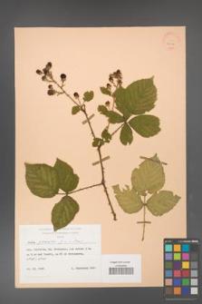 Rubus gracilis [KOR 25550]