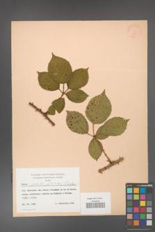 Rubus gracilis [KOR 22827]