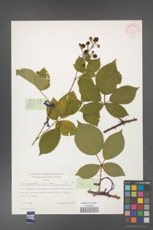 Rubus gracilis [KOR 30877]
