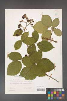 Rubus gracilis [KOR 24888]
