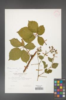 Rubus gracilis [KOR 24693]