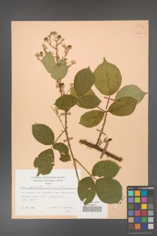 Rubus gracilis [KOR 25578]