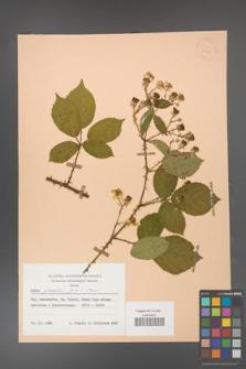 Rubus gracilis [KOR 30911]