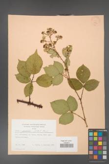 Rubus gracilis [KOR 22821]