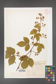 Rubus gracilis [KOR 46558]