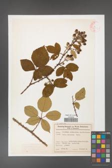 Rubus gracilis [KOR 46554]