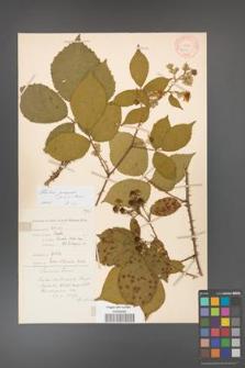 Rubus gracilis [KOR 11110]
