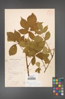 Rubus gracilis [KOR 11127]