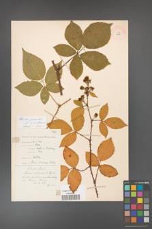 Rubus gracilis [KOR 11125]