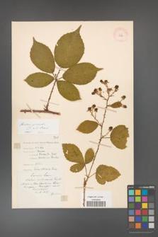 Rubus gracilis [KOR 11124]