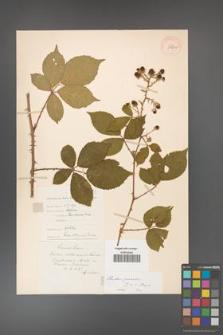 Rubus gracilis [KOR 11128a]