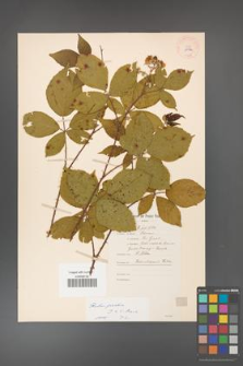 Rubus gracilis [KOR 11132]