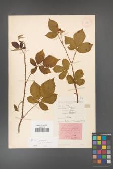 Rubus gracilis [KOR 11130]